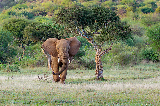 ELE 01 KH0005 01 © Kimball Stock Elephant Bull Crossing A Clearing In Kenya