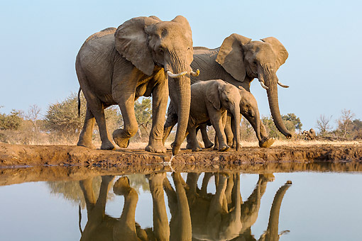 ELE 01 KH0011 01 © Kimball Stock Male And Female Elephants Drinking At Waterhole