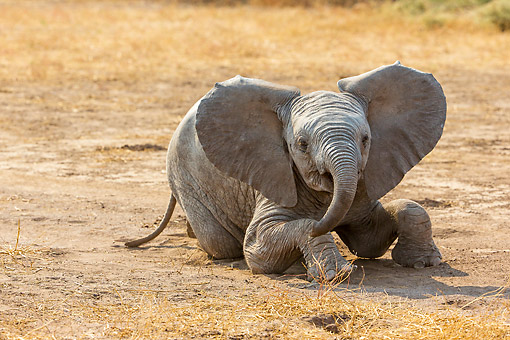 ELE 01 KH0013 01 © Kimball Stock African Elephant Calf Playing In Dirt In Botswana