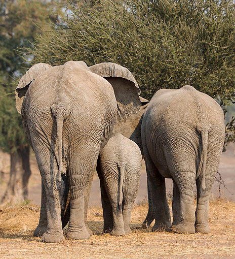ELE 01 KH0014 01 © Kimball Stock Mother, Juvenile, And Calf African Elephants Standing In Botswana