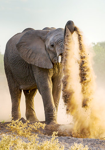 ELE 01 KH0022 01 © Kimball Stock African Elephant Playing In Dirt In Botswana