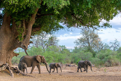 ELE 01 KH0023 01 © Kimball Stock African Elephant And Calves Walking Under Big Tree In Botswana