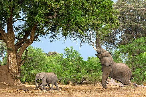 ELE 01 KH0027 01 © Kimball Stock African Elephant Bull Reaching Up To Branches And Calf Walking