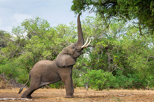 ELE 01 KH0028 01 © Kimball Stock Elephant Bull Reaching Up To Branches