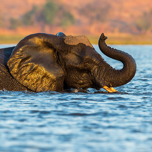 ELE 01 KH0029 01 © Kimball Stock African Elephant Crossing River In Chobe National Park, Botswana