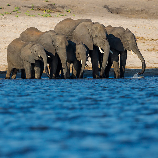 ELE 01 KH0030 01 © Kimball Stock African Elephant Herd Drinking At River Edge Chobe National Park, Botswana