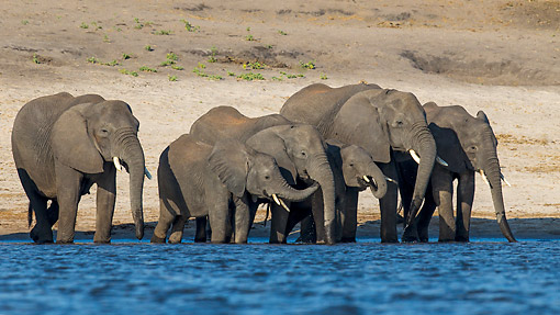 ELE 01 KH0031 01 © Kimball Stock African Elephant Herd Drinking At River Edge Chobe National Park, Botswana