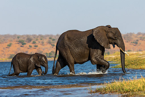 ELE 01 KH0032 01 © Kimball Stock African Elephant Cow And Calf Reaching The Edge After Crossing A River In Chobe National Park, Botswana