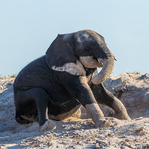 ELE 01 KH0033 01 © Kimball Stock African Elephant Calf Playing In Sand In Chobe National Park, Botswana