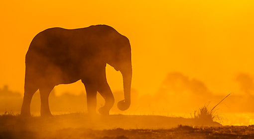 ELE 01 KH0034 01 © Kimball Stock African Elephant Walking In Dust At Sunset In Chobe National Park, Botswana