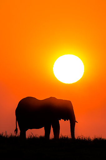 ELE 01 KH0039 01 © Kimball Stock African Elephant Standing In Grass At Sunset In Chobe National Park, Botswana