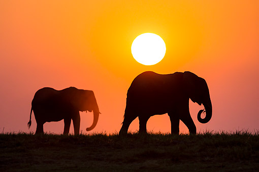 ELE 01 KH0040 01 © Kimball Stock African Elephants Walking At Sunset In Chobe National Park, Botswana