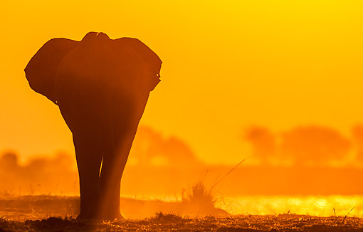 ELE 01 KH0041 01 © Kimball Stock African Elephant Walking At Sunset In Chobe National Park, Botswana