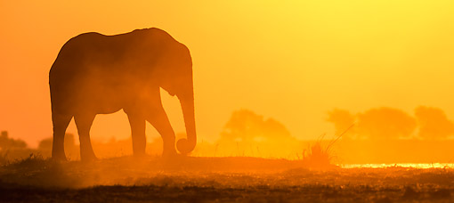 ELE 01 KH0042 01 © Kimball Stock African Elephant Walking At Sunset In Chobe National Park, Botswana
