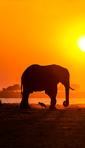 ELE 01 KH0043 01 © Kimball Stock African Elephant Walking At Sunset In Chobe National Park, Botswana