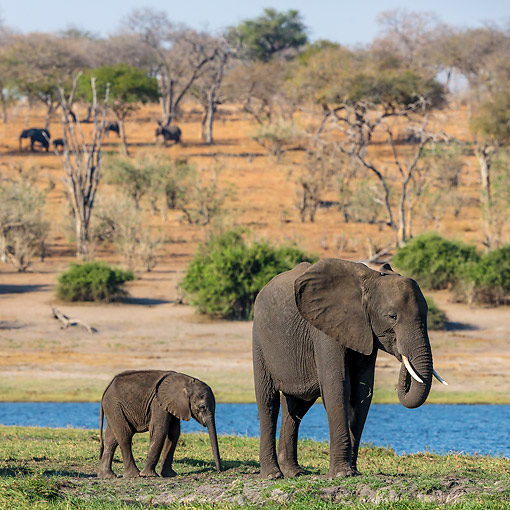 ELE 01 KH0046 01 © Kimball Stock African Elephant Cow And Calf On Island In Chobe National Park, Botswana