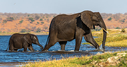 ELE 01 KH0047 01 © Kimball Stock Elephant Cow And Calf Reaching The Edge After Crossing River In Chobe National Park, Botswana