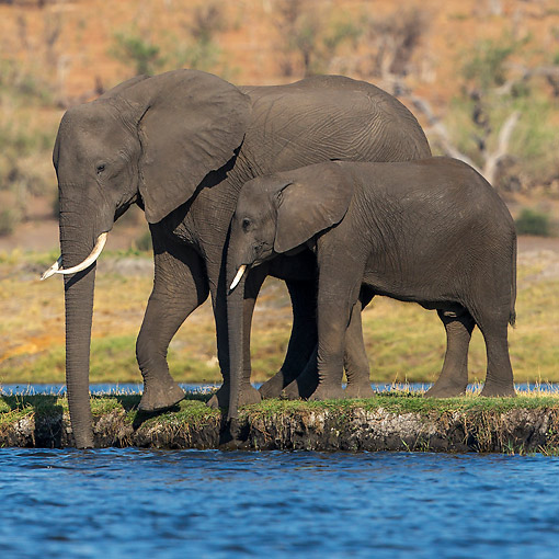 ELE 01 KH0048 01 © Kimball Stock Elephant Cow And Calf Entering Water In Chobe National Park, Botswana