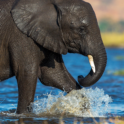 ELE 01 KH0050 01 © Kimball Stock African Elephant Reaching Edge After Crossing River In Chobe National Park, Botswana