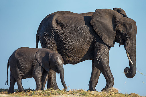 ELE 01 KH0051 01 © Kimball Stock African Elephant Cow And Calf Walking On A Sand Bank In Chobe National Park, Botswana