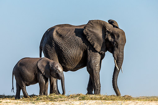 ELE 01 KH0059 01 © Kimball Stock African Elephant Cow And Calf Walking On Sand Bank