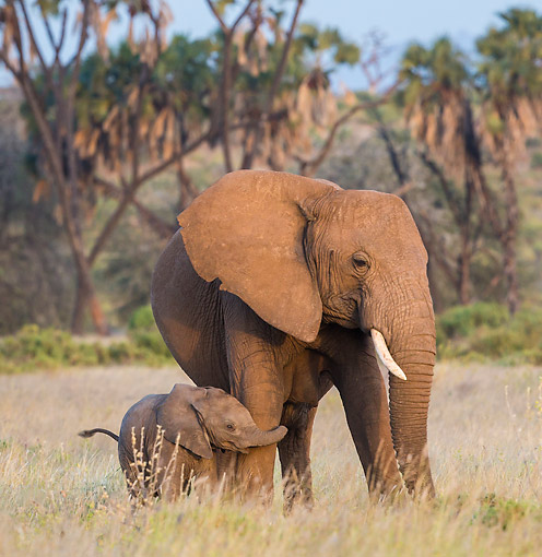 ELE 01 KH0060 01 © Kimball Stock Young Elephant Baby Holding The Leg Of His Mother