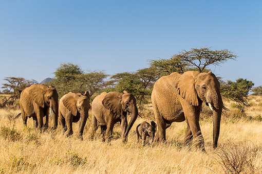 ELE 01 KH0061 01 © Kimball Stock Adult And Young African Elephants Walking On Savanna In Kenya