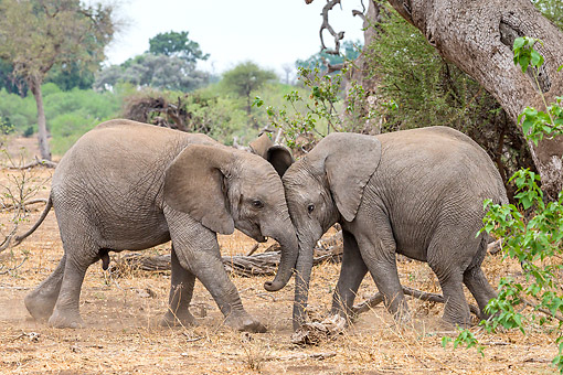 ELE 01 KH0067 01 © Kimball Stock African Elephant Calves Playing In Botswana