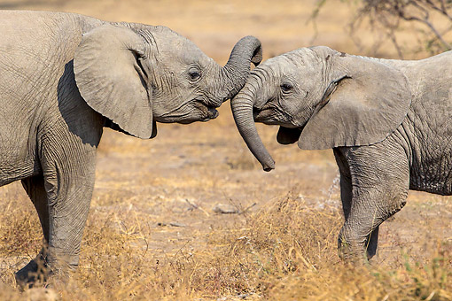 ELE 01 KH0068 01 © Kimball Stock African Elephant Calves Playing In Botswana