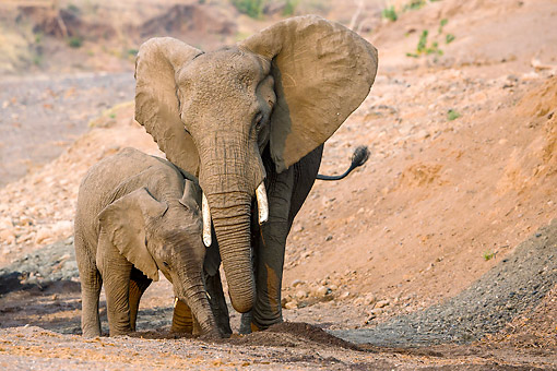 ELE 01 KH0070 01 © Kimball Stock African Elephant Mother And Calf Drinking In Dry Riverbed In Botswana