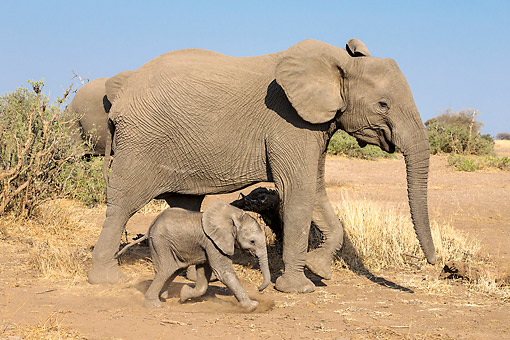 ELE 01 KH0076 01 © Kimball Stock African Elephant Adults And Calf In Botswana