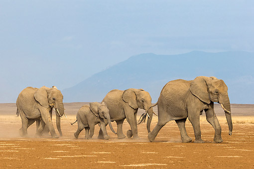 ELE 01 KH0080 01 © Kimball Stock African Elephant Adults And Calves Walking In Kenya