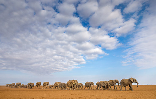 ELE 01 KH0085 01 © Kimball Stock African Elephant Herd Walking In Kenya
