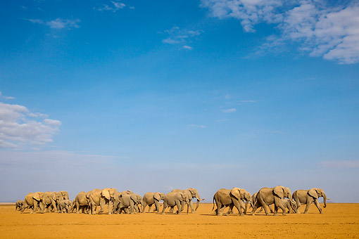 ELE 01 KH0091 01 © Kimball Stock African Elephant Herd Walking In Kenya