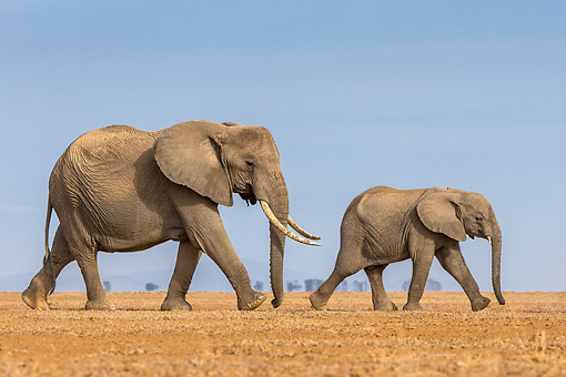 ELE 01 KH0110 01 © Kimball Stock African Elephant Mother And Baby Walking In Kenya