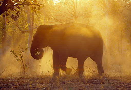 ELE 01 MH0001 01 © Kimball Stock Silhouette Of Asian Elephant Walking Through Jungle At Sunset