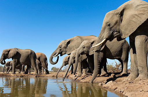 ELE 01 MH0004 01 © Kimball Stock African Elephants Congregating At Waterhole In Mashatu Game Reserve, Botswana