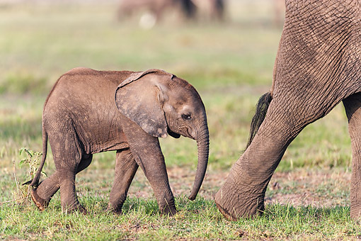 ELE 01 MH0005 01 © Kimball Stock African Elephant Calf Walking With Mother At Amboseli National Park, Kenya