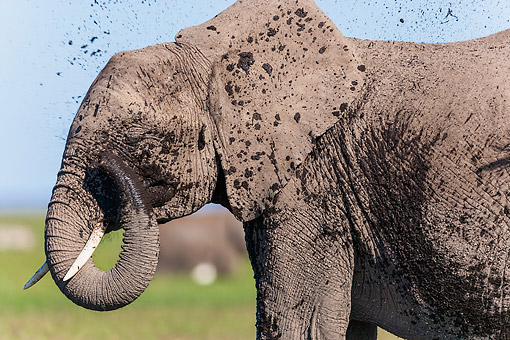 ELE 01 MH0006 01 © Kimball Stock African Elephant Taking A Mud Bath At Amboseli National Park, Kenya