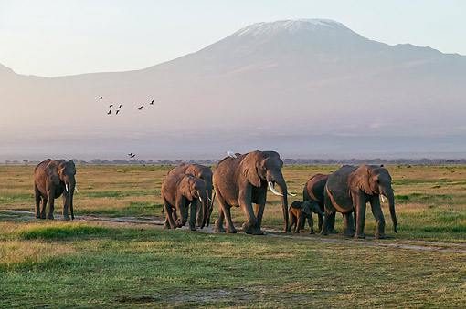 ELE 01 MH0007 01 © Kimball Stock African Elephants Walking Along Path In Front Of Mount Kilimanjaro At Amboseli National Park, Kenya