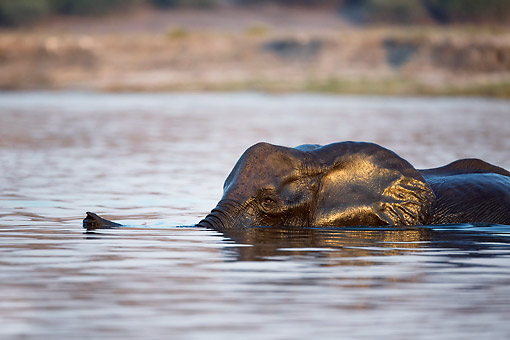 ELE 01 MH0008 01 © Kimball Stock African Elephant Swimming Across The Chobe River At Chobe National Park, Botswana
