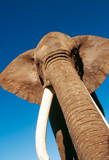 ELE 01 RK0014 02 © Kimball Stock African Elephant Againsts Blue Sky