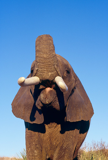 ELE 01 RK0018 01 © Kimball Stock Head Shot Of Elephant With Trunk Up Showing Tongue Blue Sky