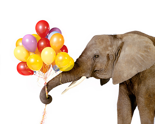 ELE 01 RK0073 04 © Kimball Stock Elephant Holding Balloons In Trunk White Seamless