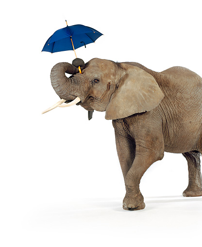 ELE 01 RK0075 02 © Kimball Stock Elephant Holding Umbrella With Trunk On White Seamless