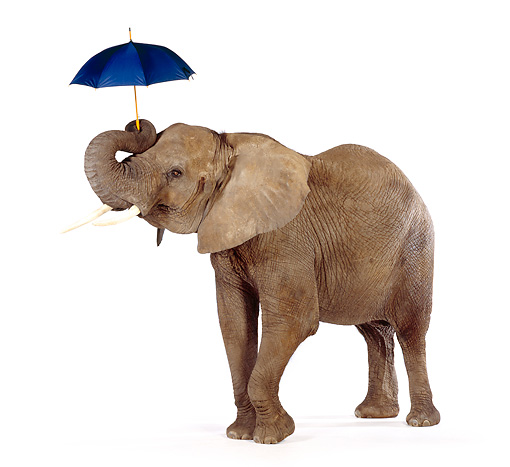 ELE 01 RK0075 08 © Kimball Stock Elephant Holding Umbrella With Trunk On White Seamless