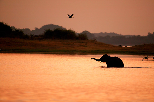 ELE 01 WF0003 01 © Kimball Stock Silhouette Of Asian Elephant Walking Across Lake At Sunset