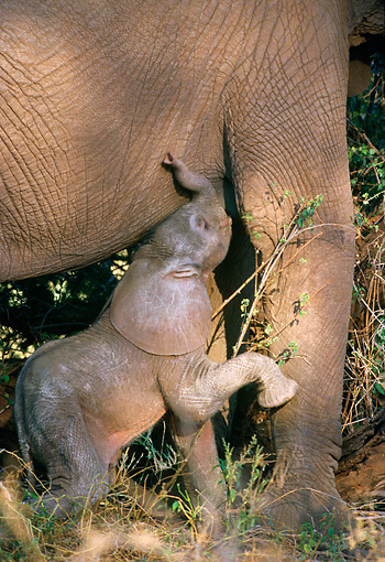 ELE 01 DB0001 01 © Kimball Stock African Elephant Cow With Very Young Calf Nursing Africa