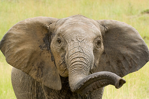 ELE 01 NE0003 01 © Kimball Stock Juvenile African Elephant With Trunk Raised On Savanna Kenya Head Shot