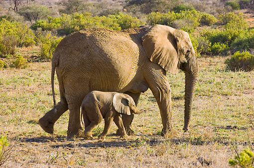 ELE 01 NE0011 01 © Kimball Stock African Elephant Mother And Calf Walking On Savanna Kenya